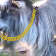 Watch This Video Of A Goat Enjoying Leisurely Spot Of Beatboxing