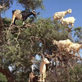 Lost All Chill? These Tree Goats Will Help